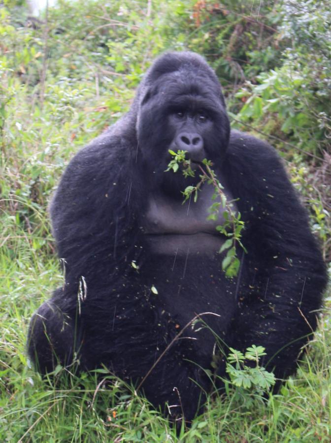 5X2S Gorilla, Uganda.