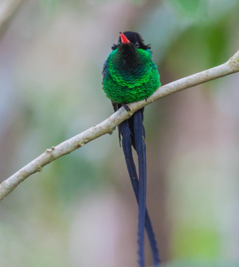 6Y3M Red-billed Streamertail, Jamaica. Tourist attractions spot