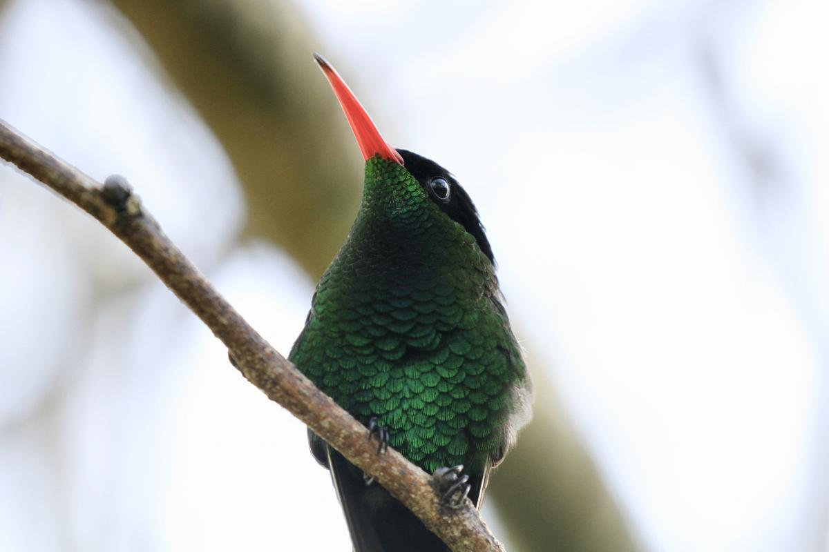 6Y5KB Вымпелохвостый колибри, Ямайка. DX Новости.
