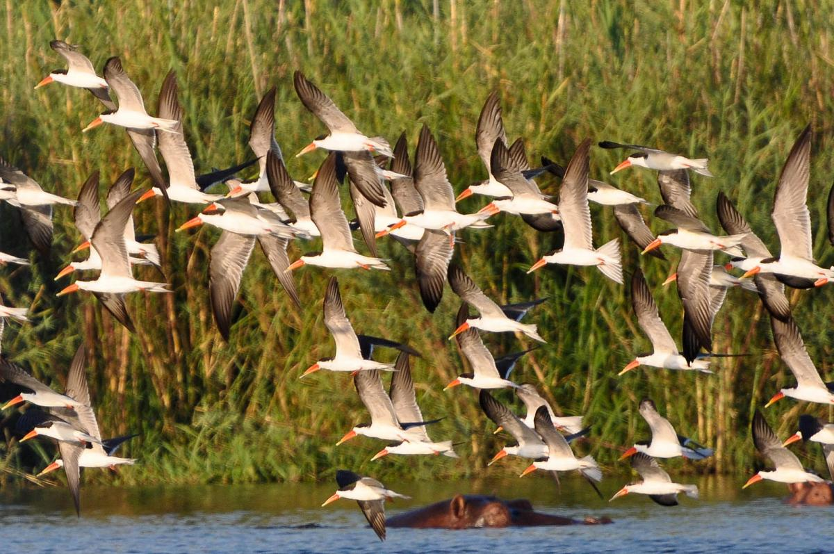 7Q7JK African Skimmers, Malawi. Tourist attractions spot