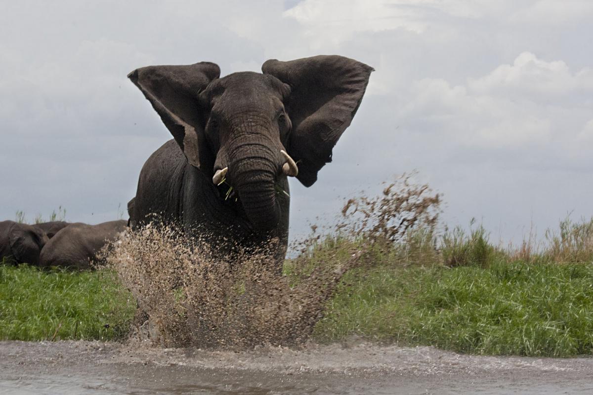 7Q7JK Matriarch Elephant, Liwonde National Park, Malawi.
