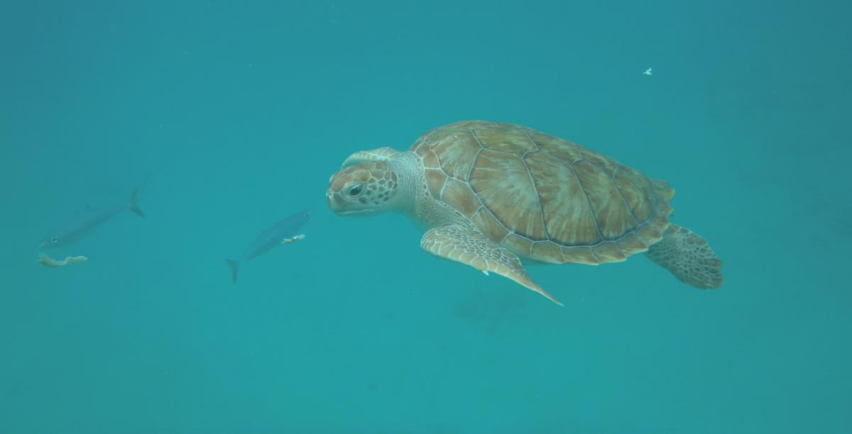 Barbados 8P9BT Tourist attractions spot Turtle