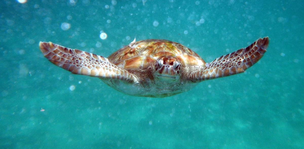 Барбадос 8P9MT Туристические достопримечательности Полет без крыльев, зеленая морская черепаха.