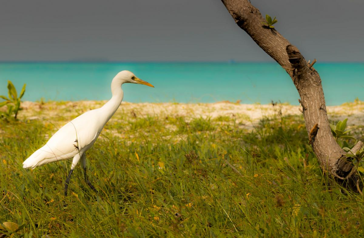 8Q7DT Egret, Maldive Islands. DX News