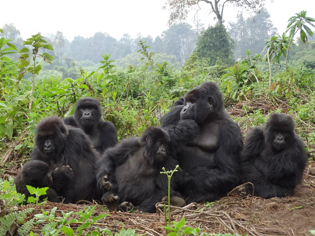 9X0T Umubano Group Gorillas, Volcanoes National Park, Rwanda. DX News