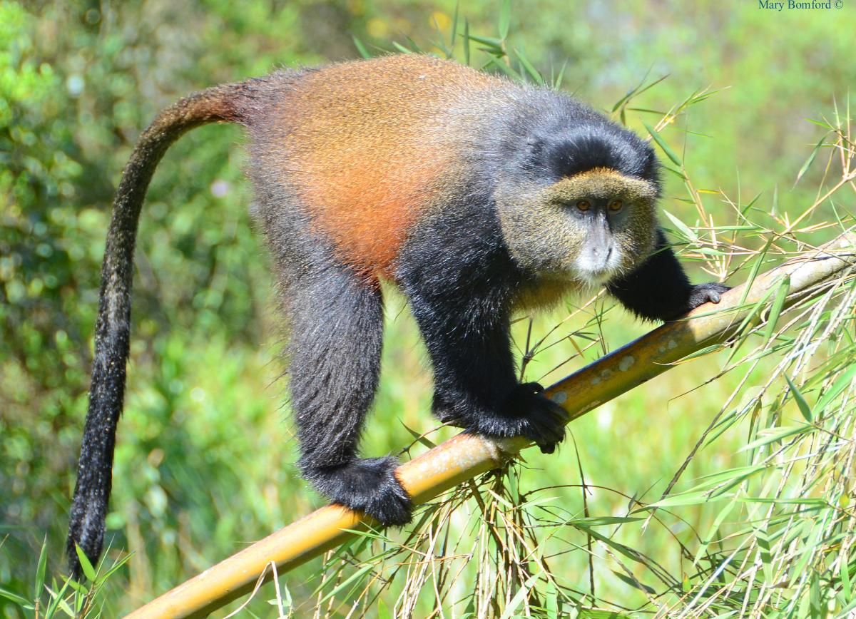 9X2S Golden monkey, Volcanoes National Park, Rwanda. Tourist attractions spot