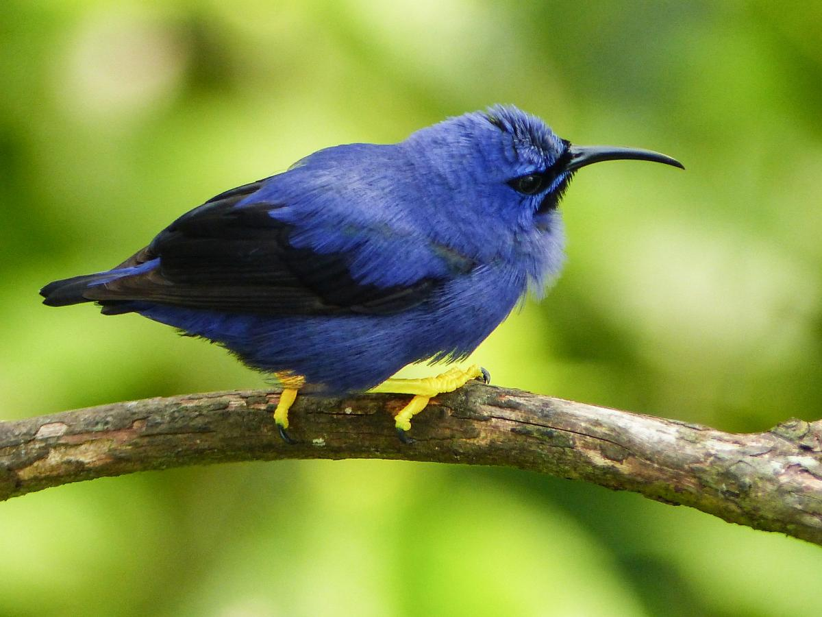 9Y4/UA4CC 9Y4/LY2IJ Purple Honeycreeper male, Tobago Island. DX News