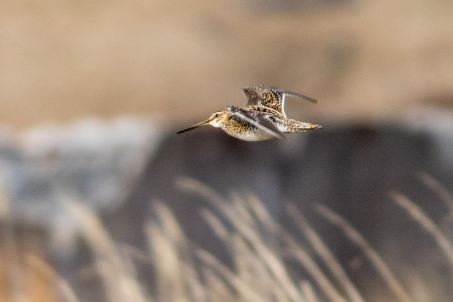 Adak Island Alaska KG4FJC/KL7 Tourist attractions spot Common Snipe.
