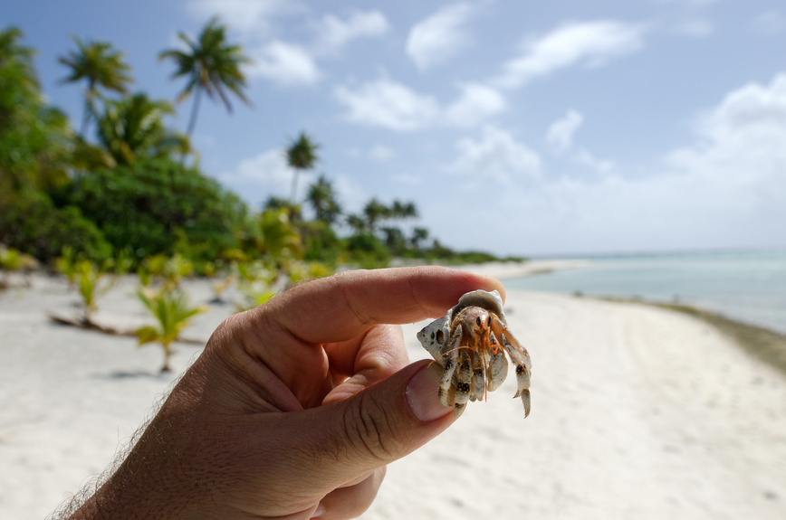 Aitutaki Island E51ZCK Cook Islands Tourist attractions Crab