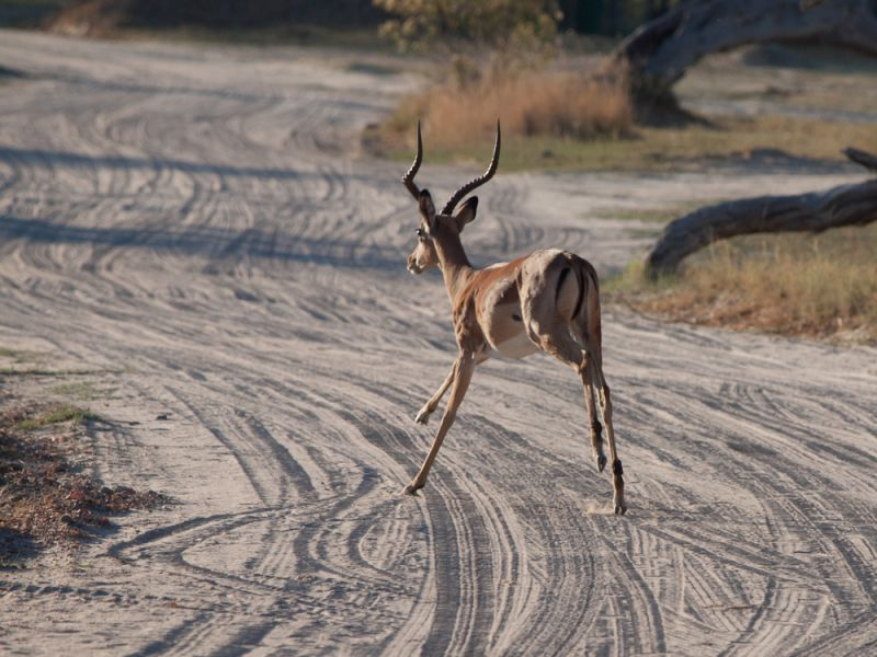 Angola D2ACE Tourist attractions spot Running impala.