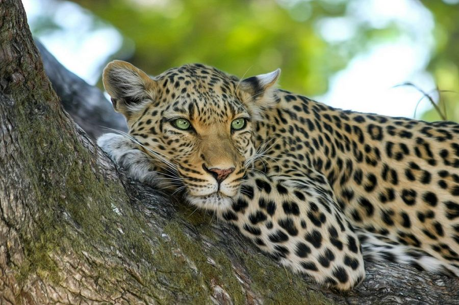 Angola D2XX Tourist attractions spot Leopard.