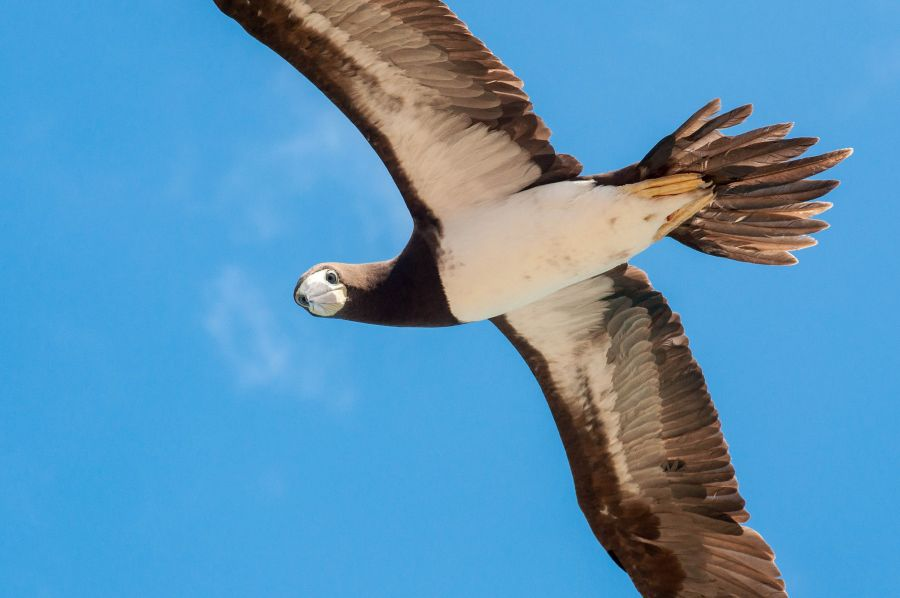 Anguilla Island VP2EAU Tourist attractions spot Brown Booby.