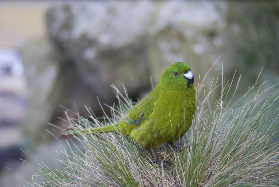 ZL9A Antipodes Islands DX News Parakeet.