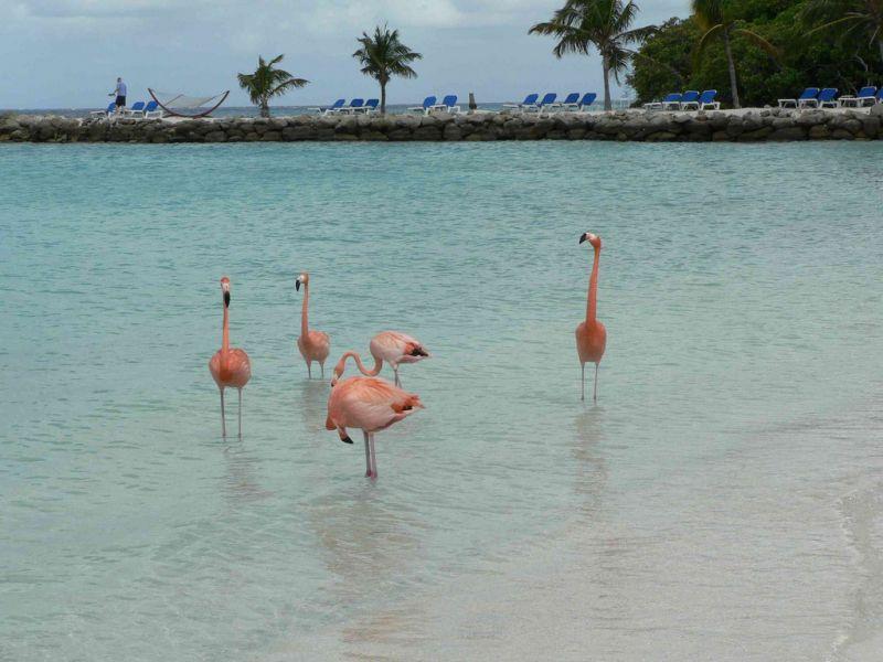 Aruba P4/PA7DA Tourist attractions spot Flamingos.