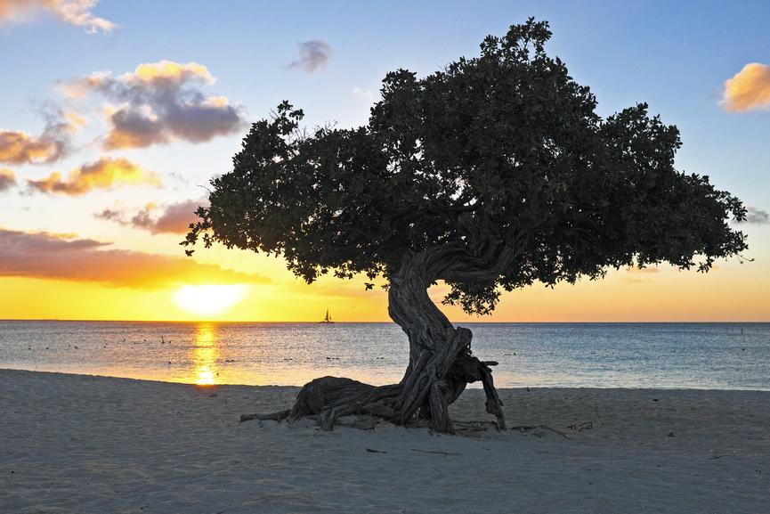Aruba P4/W6HGF P40HF Dividivi tree