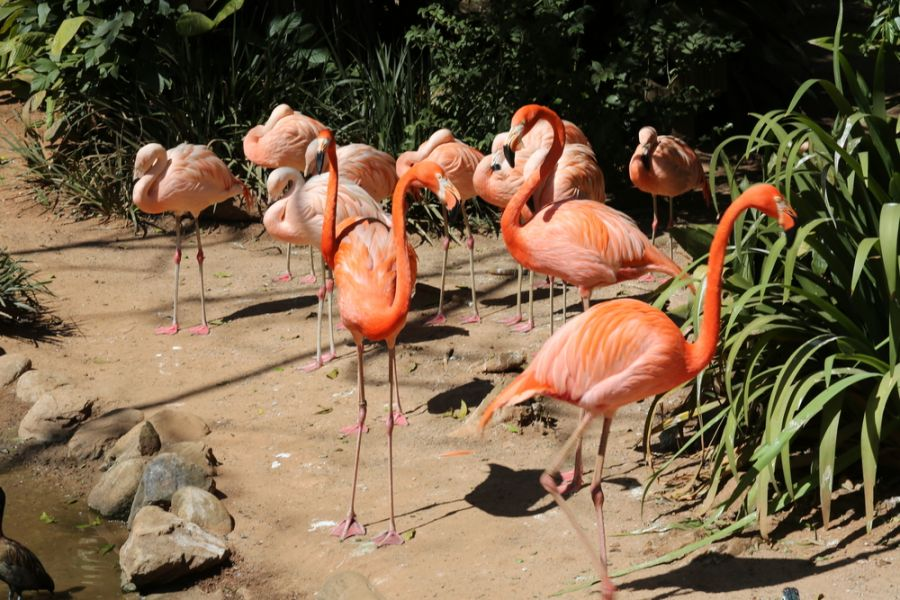 Aruba P40BC Tourist attractions spots Flamingo on the beach
