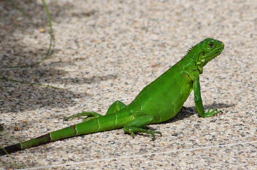 Aruba P40FA Tourist attractions spot Iguana.