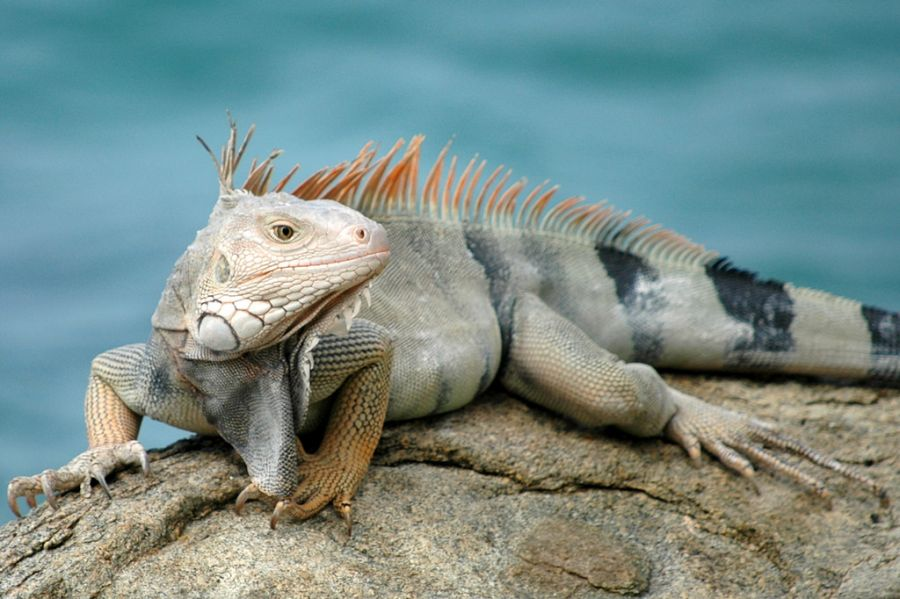 Aruba P40KW Tourist attractions spot Iguana