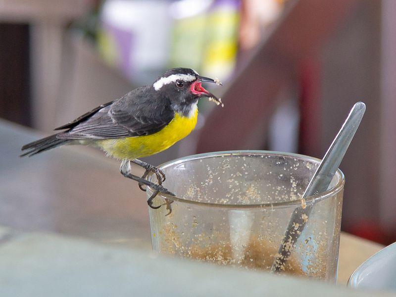 Аруба P40L Туристический достопримечательности Банановый певун Сахарная птица