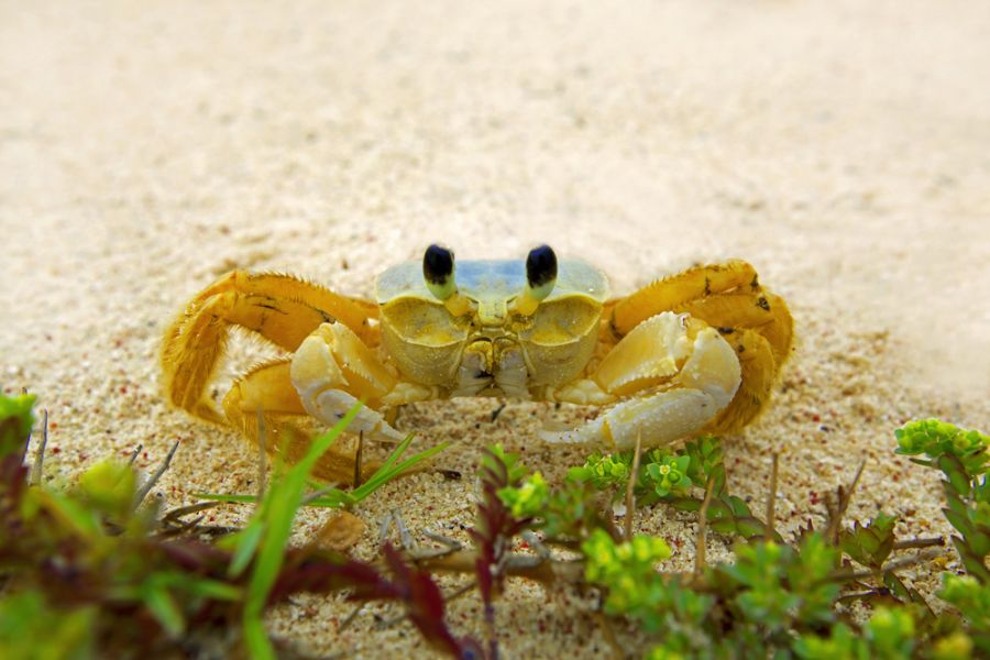 Aruba P4/DK7MCX Ghost crab