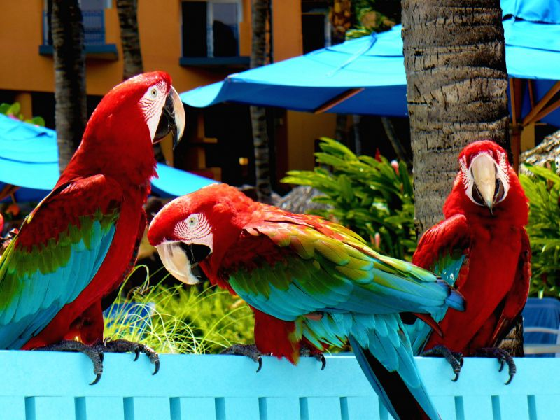 Aruba P4/DL5CW Tourist attractions spot Parrots.