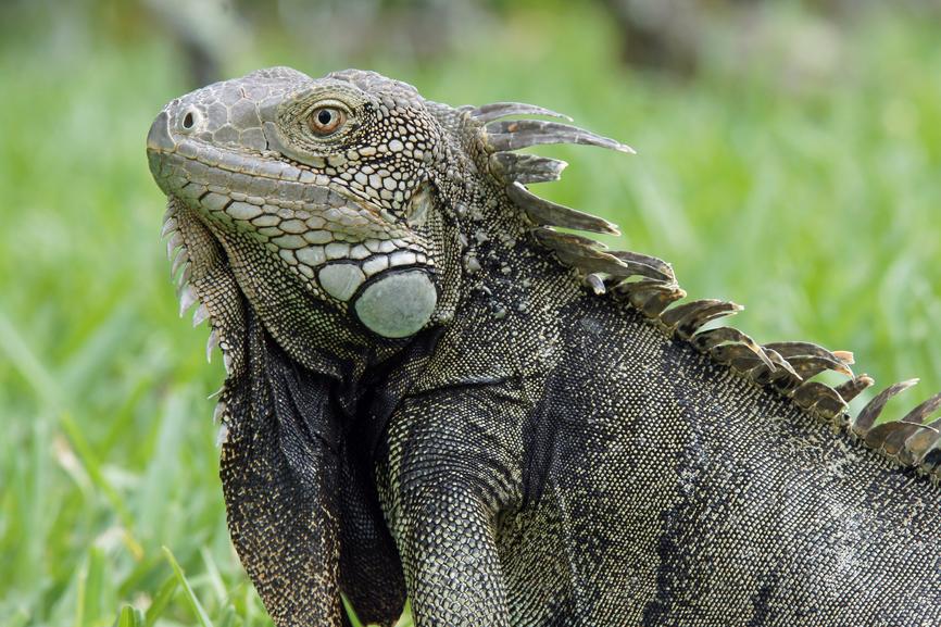 Aruba P4/IV3IYH Tourist attractions Green Iguana