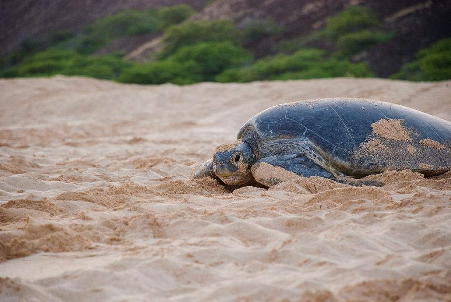 Ascension Island ZD8AA DX News Green Turtle on Long Beach.