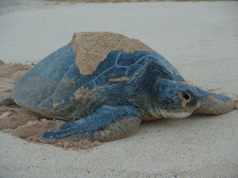 Ascension Island ZD8JX Tourist attractions spot Green Turtle.
