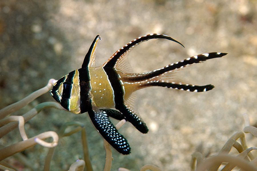 Banggai Islands YB8O Tourist attractions spots Cardinalfish.