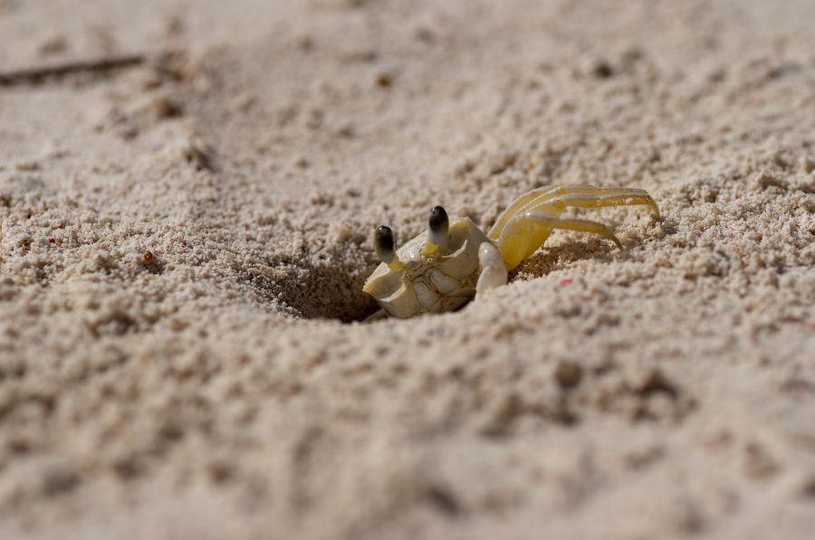 Барбадос 8P6DR DX Новости Песчаный краб.