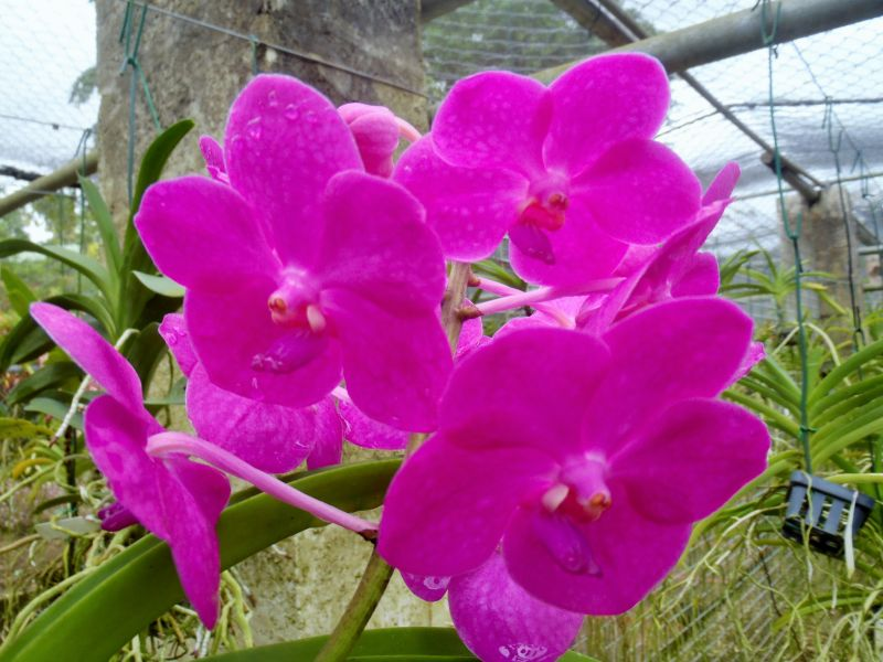 Barbados 8P6DR Tourist attractions spot Orchid.