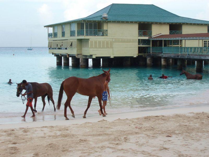 Барбадос 8P6DR Лошади.