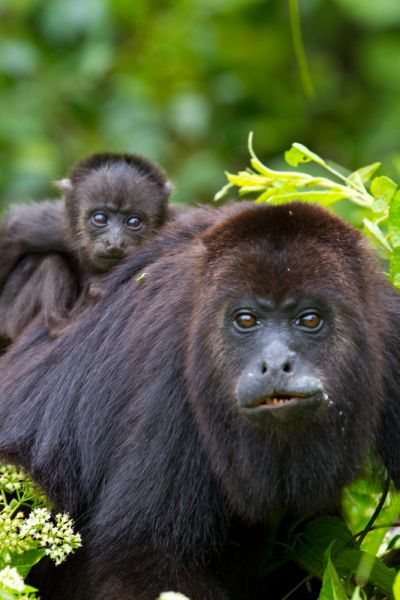 Belize V31AX DX News A baby howler monkey clings to his mothers back in the wild.