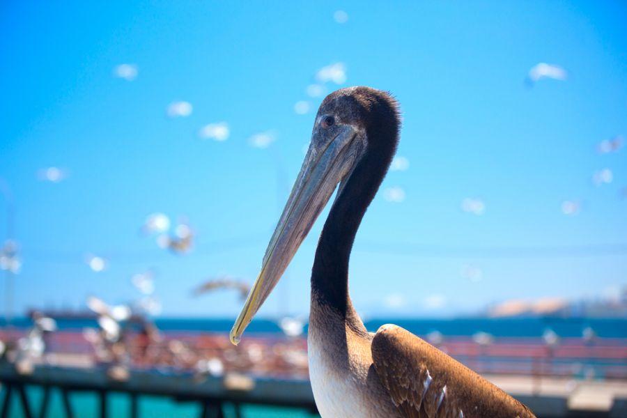 Belize V31AX Pelican.