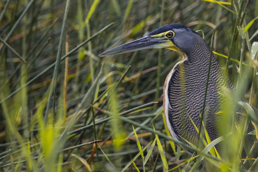 Belize V31VP Tourist attractions spot Bare-throated Tiger Heron.