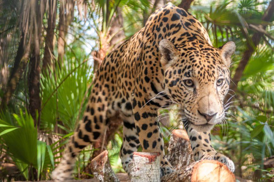 Belize V31WI Tourist attractions Jaguar