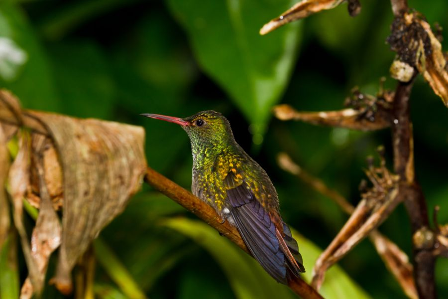 Belize V3A DX News Small humming bird perch on a twig in the rainforest of Belize