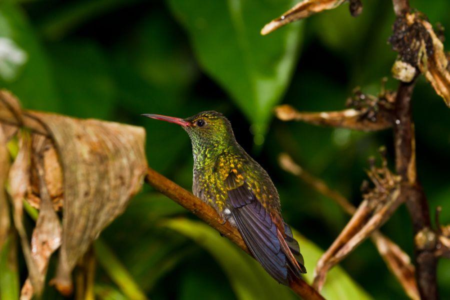 Белиз V3A DX Новости Колибри на веточке в тропическом лесу