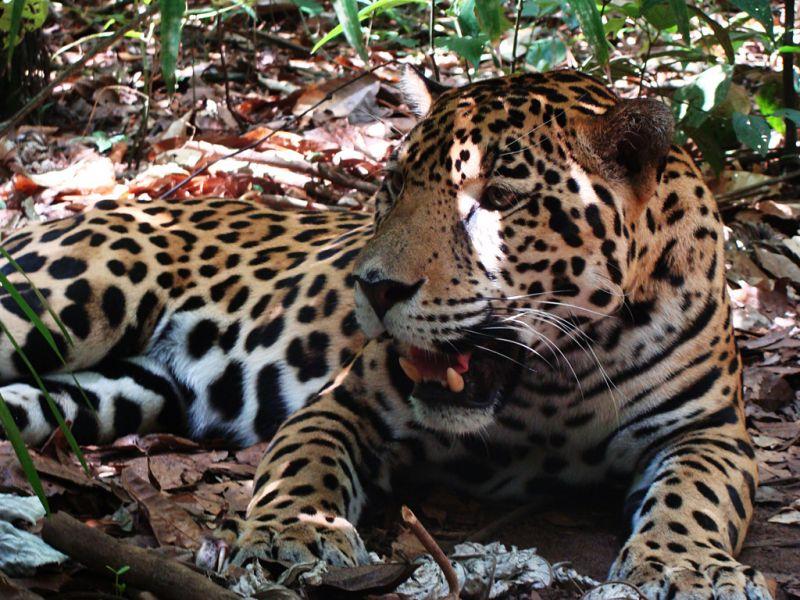 Belize V3V V31DL V31IM V31BX Tourist attraction spot Jaguar.