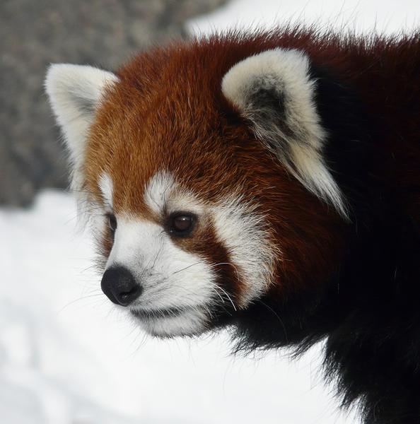 Bhutan A52ARJ A52LSS A52EQW A52AEF Red Panda