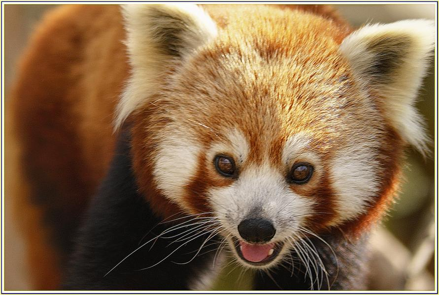 Bhutan A5A Attractions Red Panda.