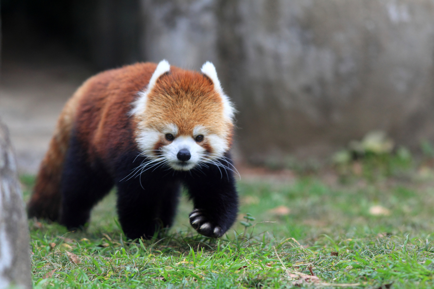 Bhutan A52LSS DX News Red panda bear