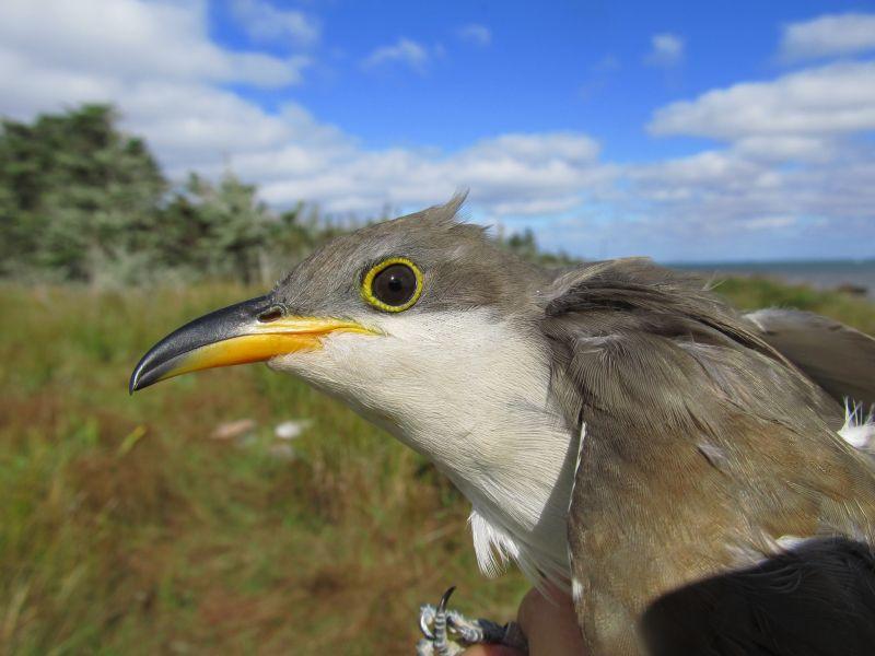 Bon Portage Island VC1A DX News Yellow-billed Cuckoo.