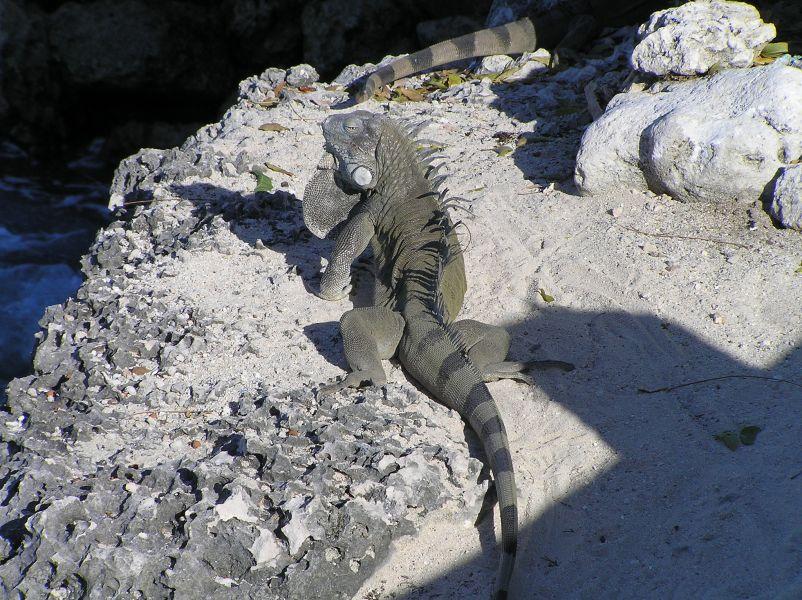 Bonaire Island PJ4/KG9N DX News Iguana.