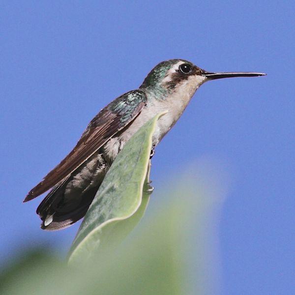 Bonaire Island PJ4/KG9N Tourist attractions spot Emerald Hummingbird.