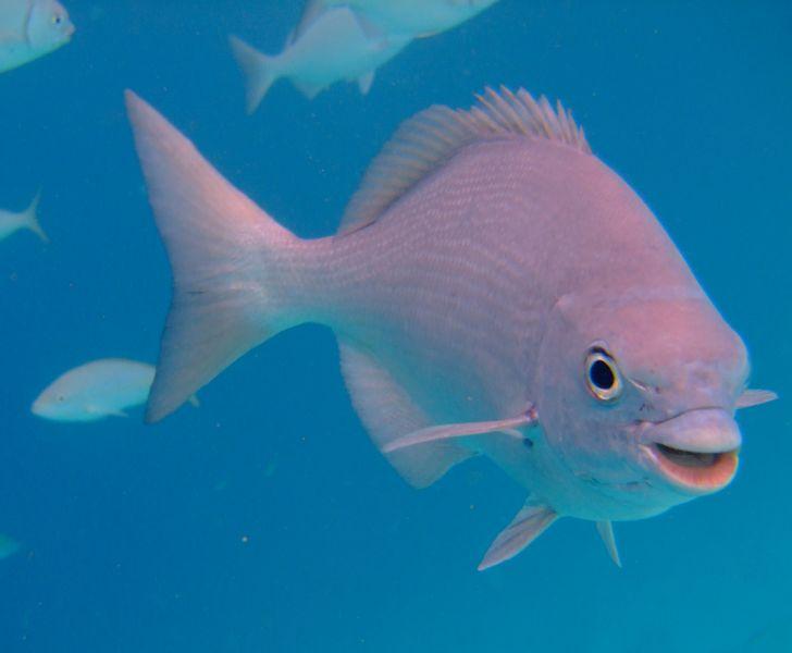 Остров Бонэйр PJ4/KG9N Улыбающаяся рулевая рыба, белая кифоза.
