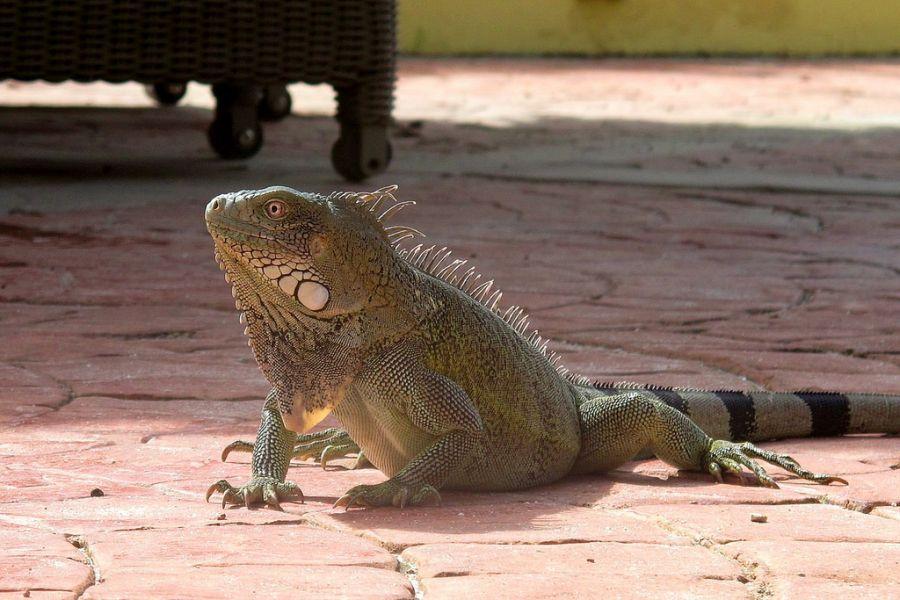Bonaire Island PJ4X Tourist attractions spot Iguana