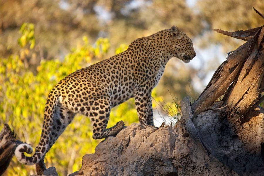 Botswana A25GR A Leopard (Panthera pardus).