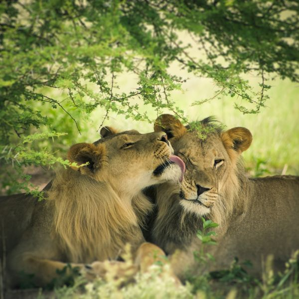 Botswana A25LC DX News Loving pair of lion and lioness.