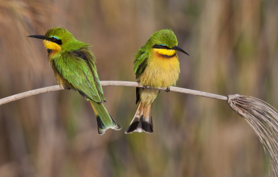 Botswana A25LC Tourist attractions spot Two Little Bee-Eaters.